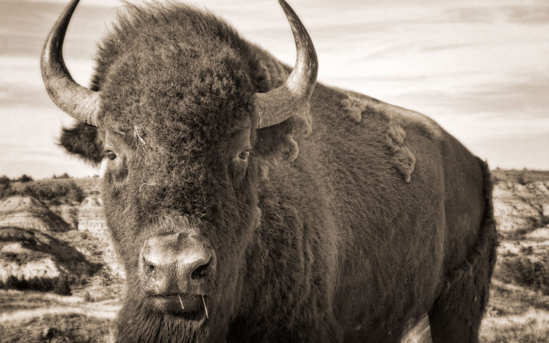 Here's why you see bison at the Theodore Roosevelt National Park