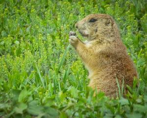 A prairie dog nibbles on springtime vegetation.