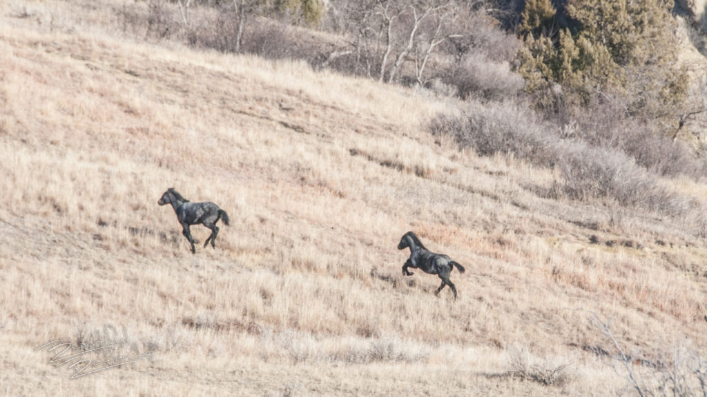 Brown grass and room to play for a couple of Nokota or wild horses at the Theodore Roosevelt National Park.