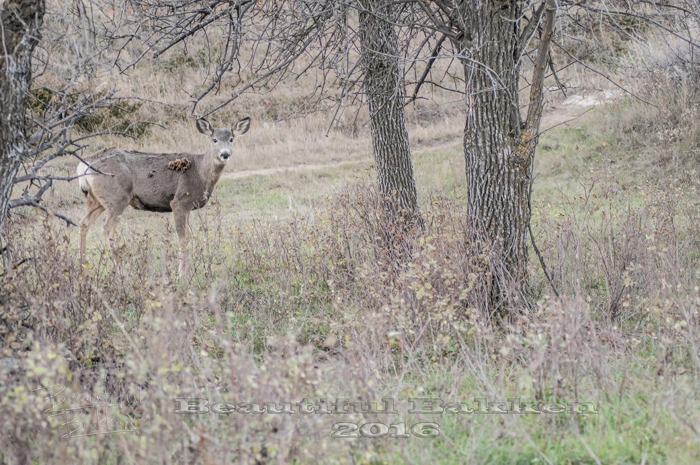 mule-deer-doe-with-burrs-sig-small