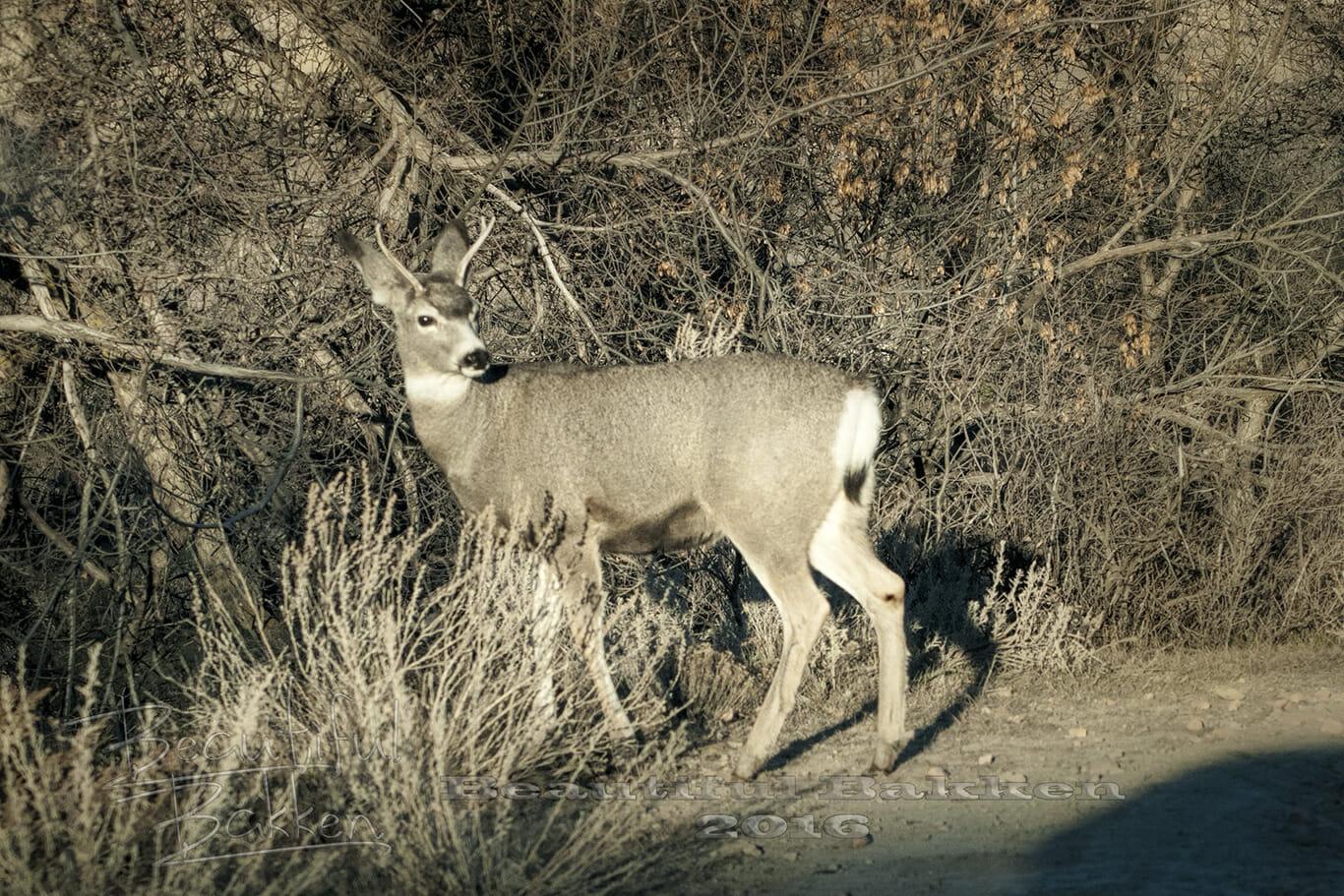 mule-deer-pauses-inlight-sig-small