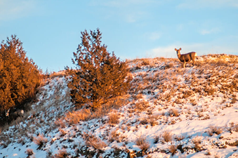 Mule deer are plentiful in the Little Missouri River valley.