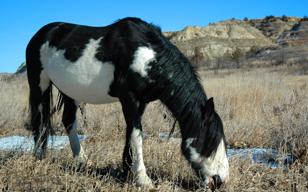 Is this one of Sitting Bull's horses living wild in the Badlands?