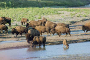 Beautiful Badlands ND focuses much of its photo gallery on Bison. Here, a Bison herd drinks, young bison calf drinks from the Little Missouri River.