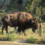 Bull bison or buffalo next to the road