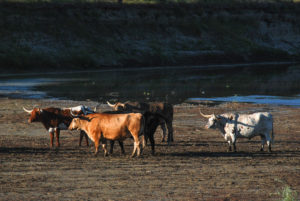 A herd of longhorn steers at the Theodore Roosevelt National Park