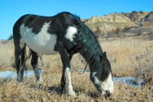 circus medicine hat horse wild horse of the badlands theodore roosevelt national park