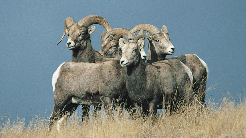 Big horn sheep pause on a hillside.