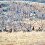 McKenzie County Turkeys