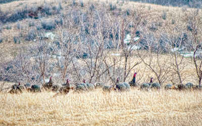 No turkeys in the Badlands, and the Turkey Trot was condemned.