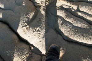 mountain lion tracks made in the soft soil, now hardened.