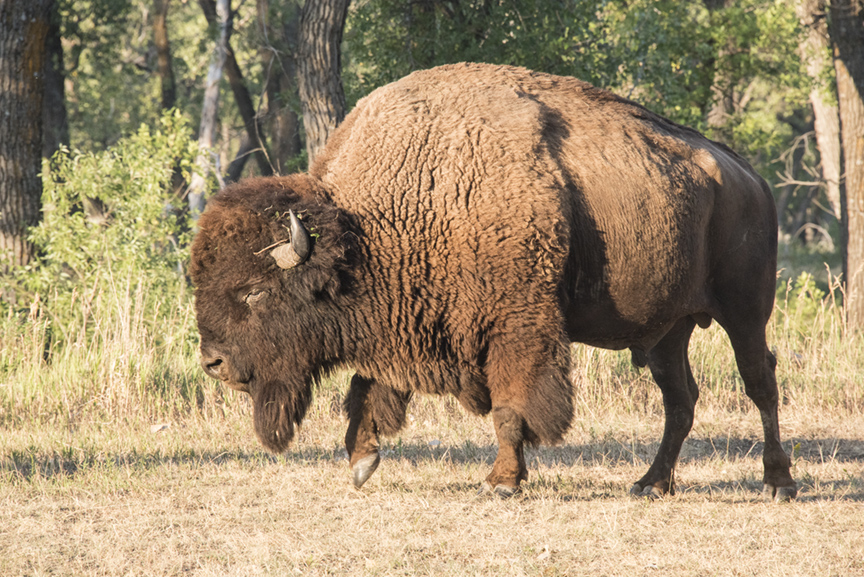 bison grazes out of the trees in to the grass