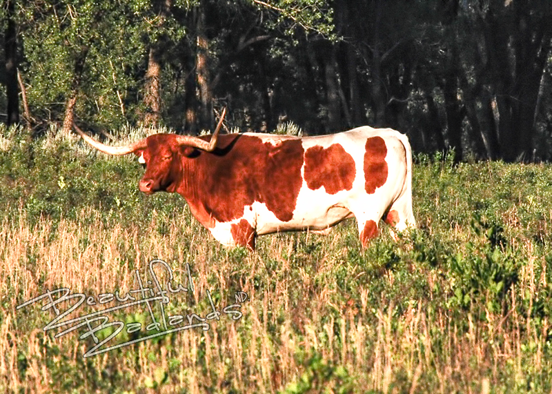 A short history of longhorns on the Long X ends with longhorns in the Theodore Roosevelt National Park.