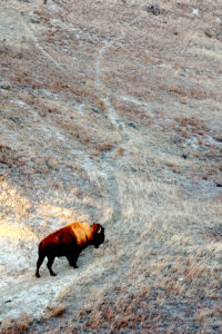 One bison moves through a patch of sunlight in to the evening pasture.