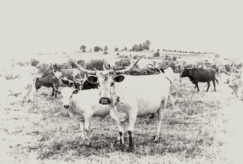 A short history of Longhorns on the Long X — part 1