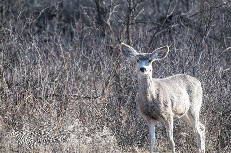 highway 16 mule deer