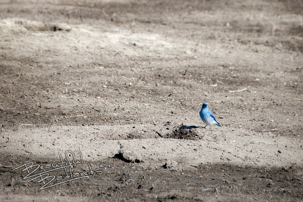 Why bluebirds are so encouraging. snapshot saturday bluebird badlands