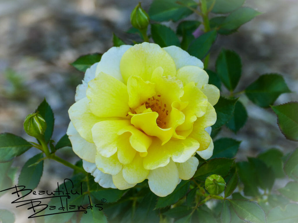Beautiful flowers are to be found at the NDSU Extension Gardens in Dickinson, North Dakota