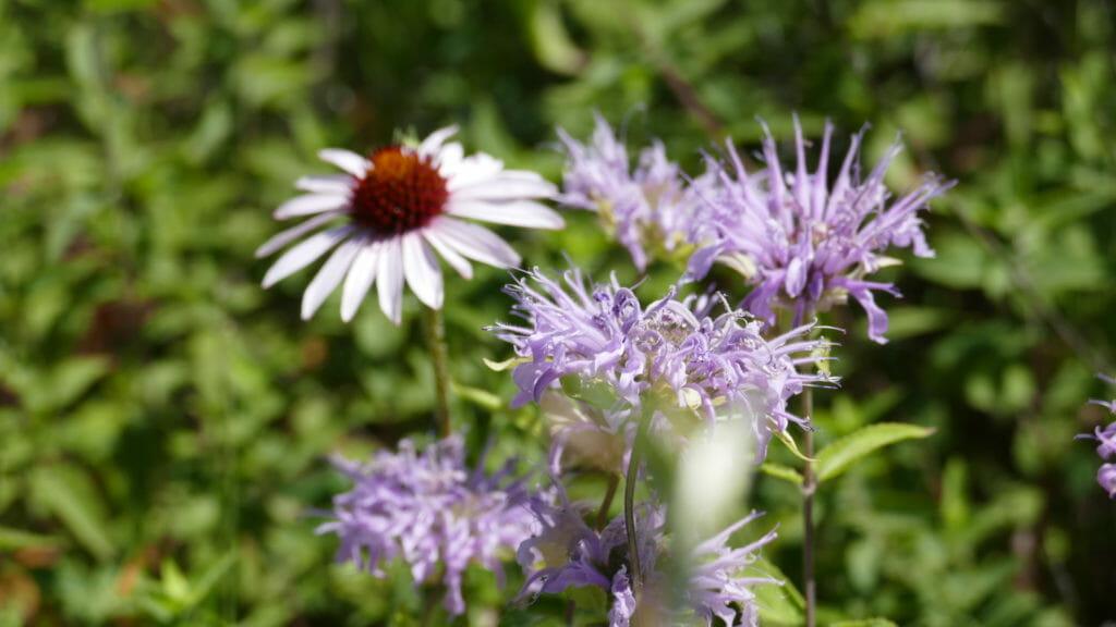 purple bergamot