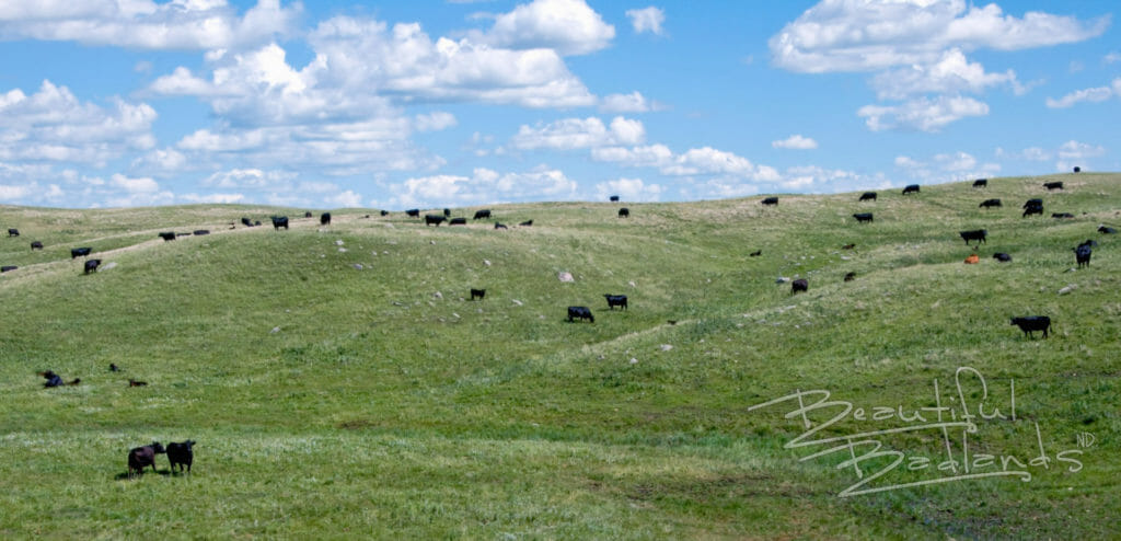 Scenic Highway 22 Dunn County cattle