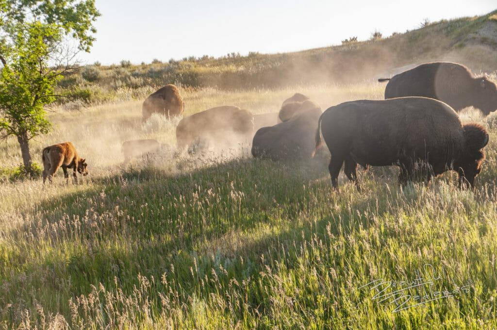 bison dust Theodore Roosevelt National Park