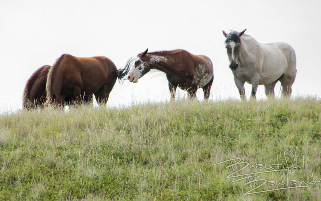 Wild horses of the Badlands stop by to check me out