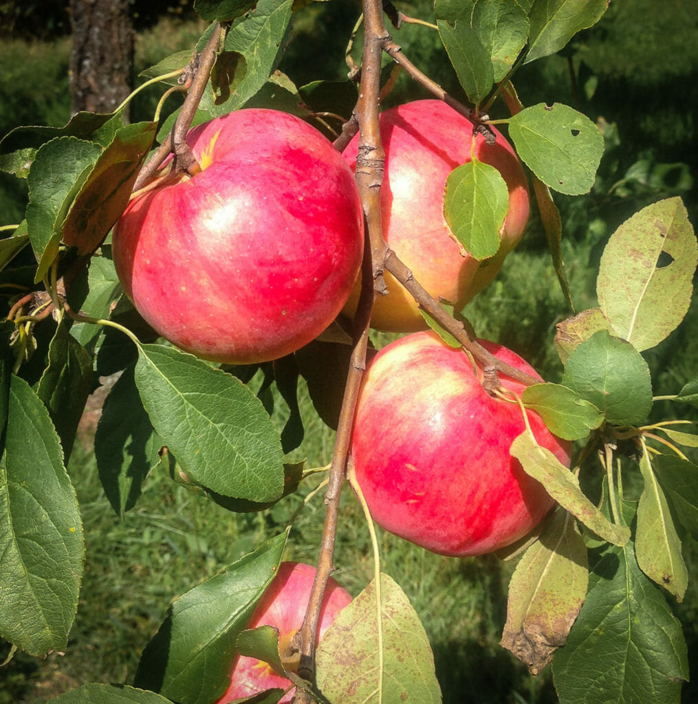 Three apples just waiting to be picked!