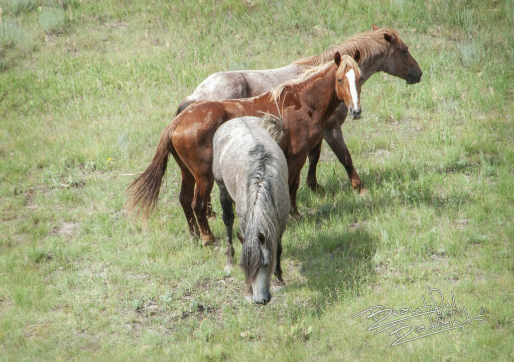 wild horses badlands theodore roosevelt national park