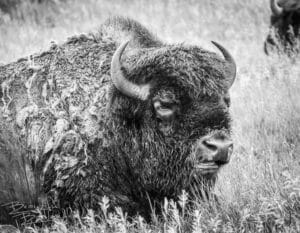 black and white bison