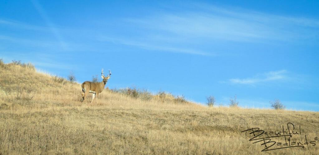 Majestic Buck of Theodore Roosevelt National Park, North Dakota