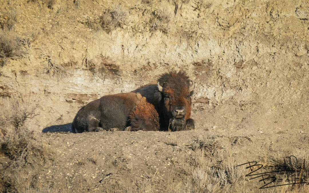 bison buffalo sun sleeping