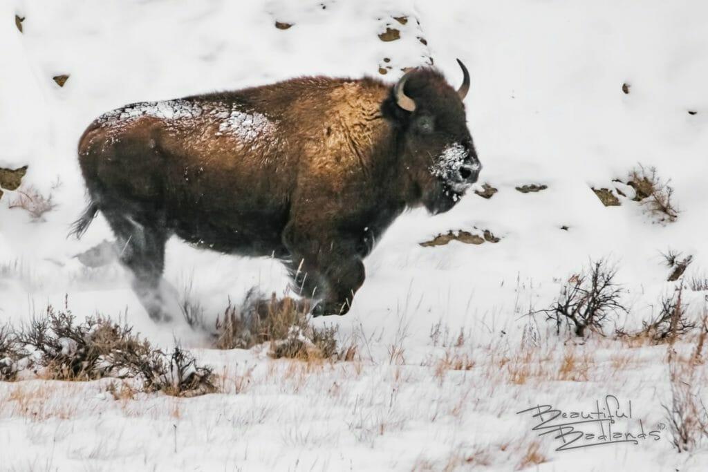 bison runs in snow
