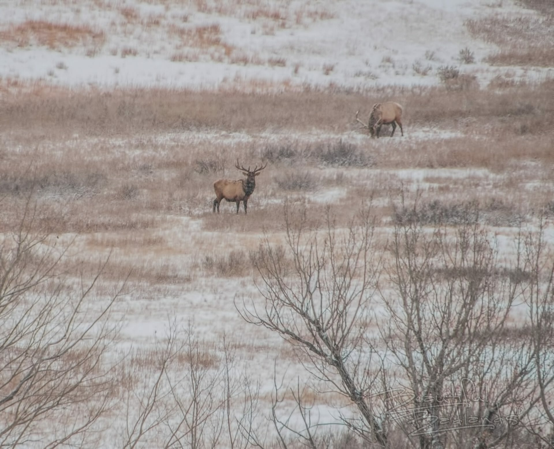 two elk in snow