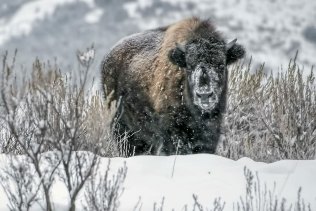 bison with snow on face