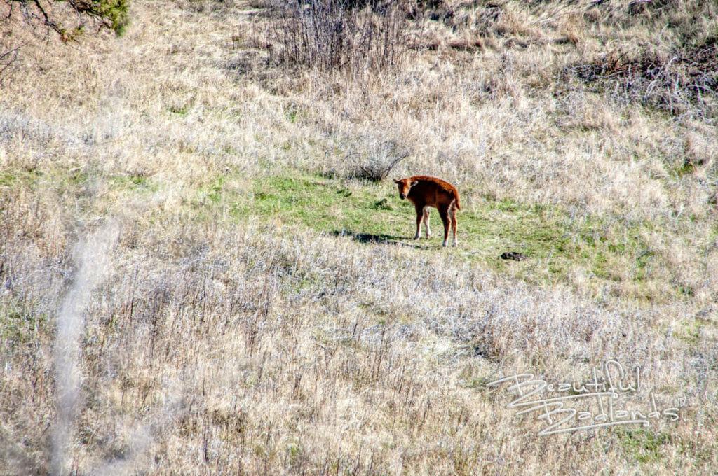 bison calf stands