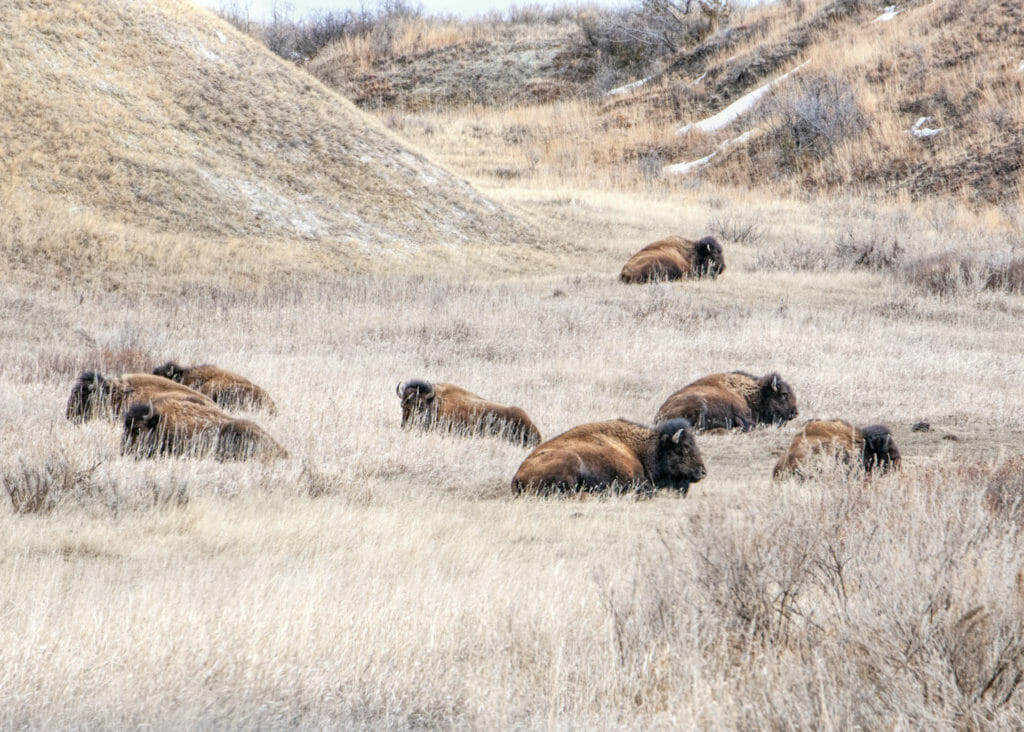 Bison Nap in Spring, Theodore Roosevelt National Park, North Dakota