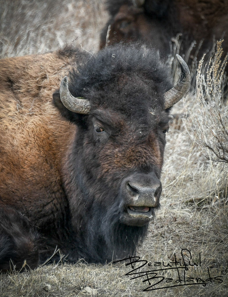 Bison Always Have Something To Say!