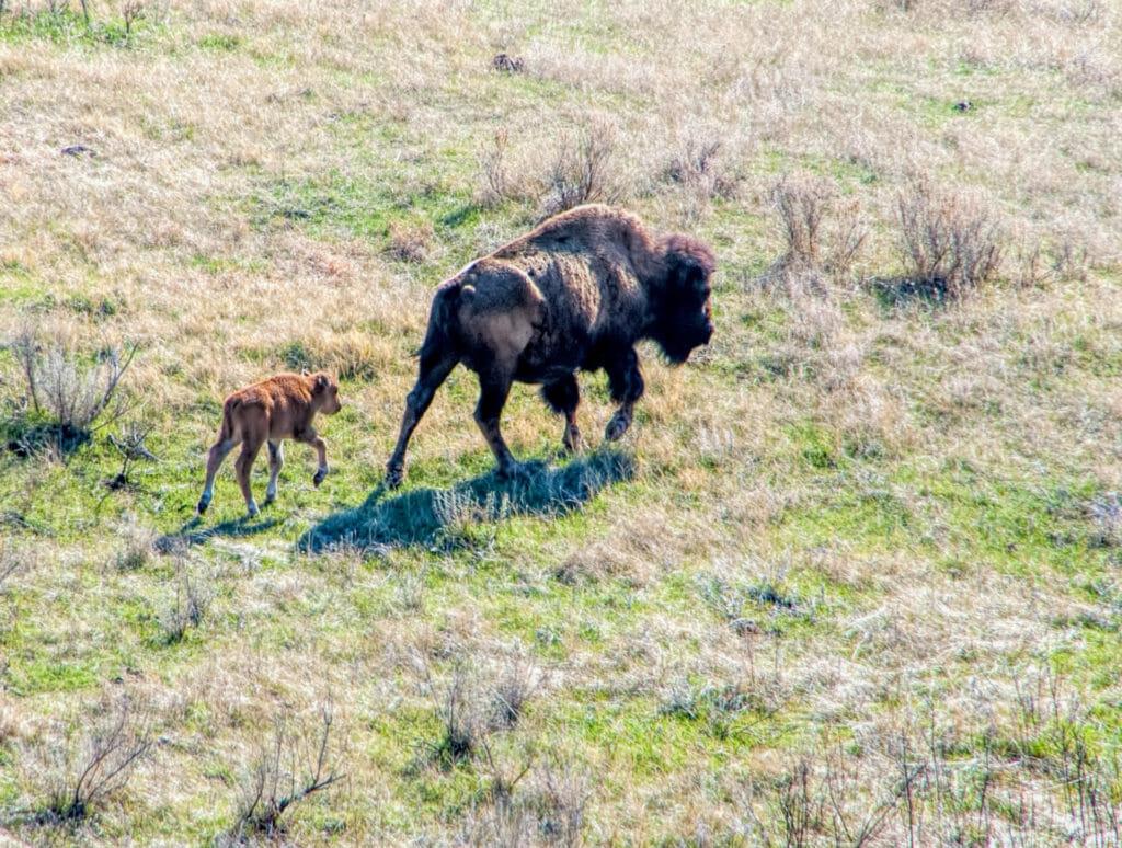 bison buffalo calf and mother walk away