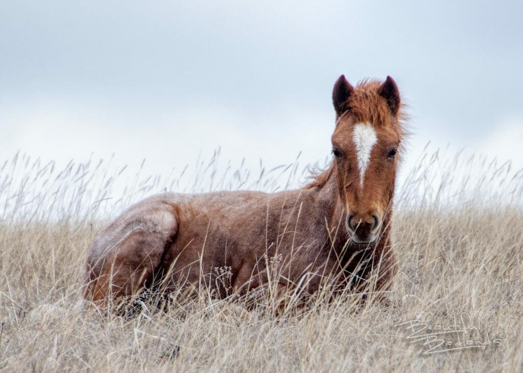 colt wild horse