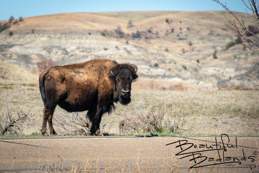 Bison Strolls Along the Road. Theodore Roosevelt National Park, North Dakota. April 2019