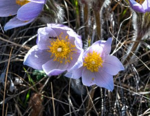 Theodore Roosevelt National Park, North Dakota April 2019 Read about Prairie Crocus (Pasque Flowers) here: http://bit.ly/2Jbdjfq