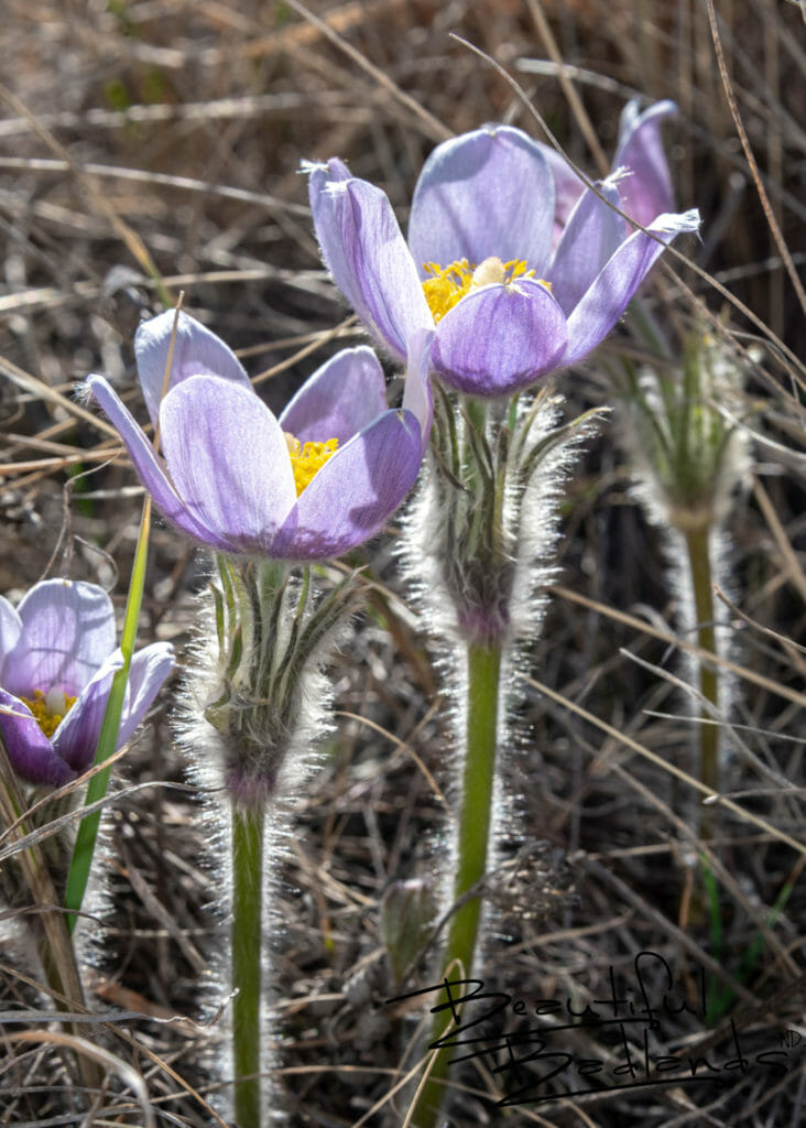 Prairie Crocuses (Pasque Flowers) Herald Spring in Theodore Roosevelt National Park, North Dakota April 2019. Read about them here: https://wp.me/p8zmWn-3DR