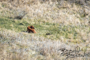 Bison Calf Rouses From Sleep. Theodore Roosevelt National Park, North Dakota April 2019