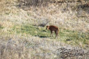 Bison Calf Wakes Up From Nap, Theodore Roosevelt National Park, North Dakota April 2019