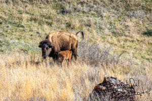 Bison Calf and Mom, Theodore Roosevelt National Park, North Dakota