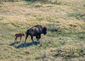 New Calf and Mom. Bison in Theodore Roosevelt National Park, North Dakota April 2019