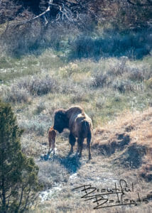 Bison and Calf Stroll Away. April 2019 in Theodore Roosevelt National Park, North Dakota