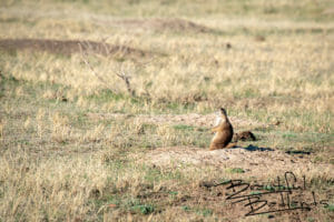What's Going On? Prairie Dogs in Theodore Roosevelt National Park, North Dakota