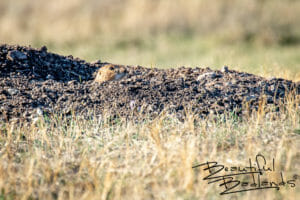 Curious Prairie Dog in Theodore Roosevelt National Park, North Dakota
