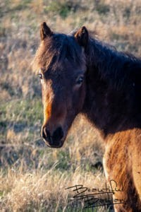 Wild Colt Sees From Afar, Theodore Roosevelt National Park, North Dakota